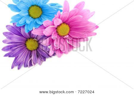 Colorful Daisies On High Key Background