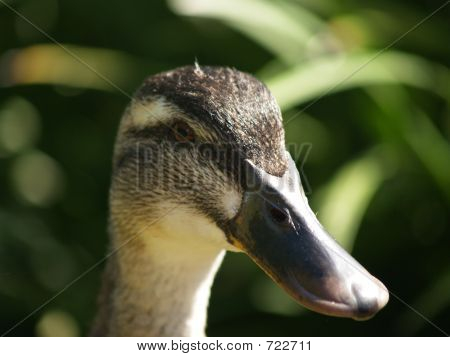 Duck Close Up