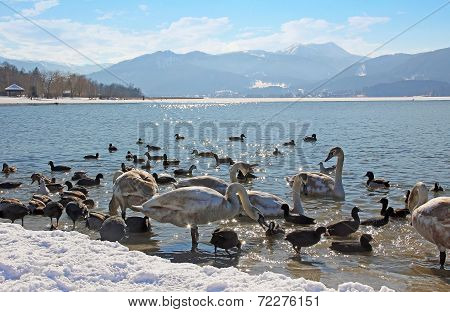 Waterfowl At Tegernsee Lakeshore, Winter Scenery, Germany