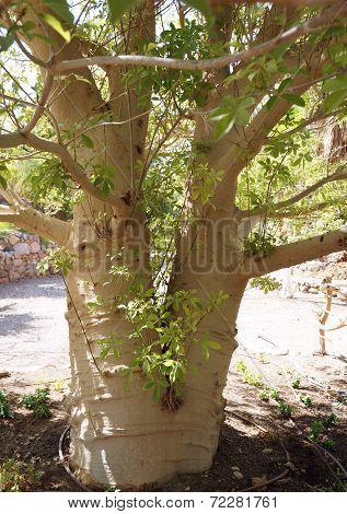 Baobab tree trunk