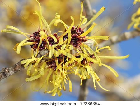 Blooming Witch Hazel In February