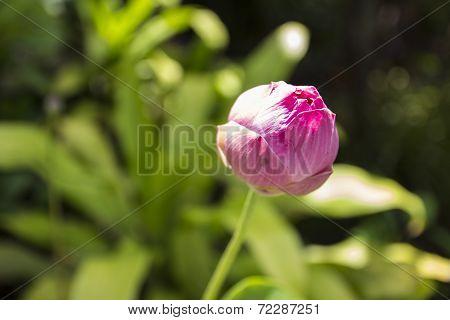 Pink Lotus Or Waterlily