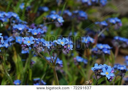 Many Forget Me Not
