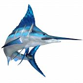 pic of game-fish  - The Blue Marlin is a predator and a favorite game fish of deep sea anglers - JPG