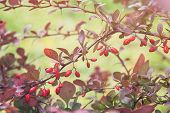 stock photo of barberry  - barberry bush in autumn sunlight close up photo - JPG
