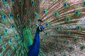 image of indian peafowl  - Portrait of a peacock the male of the Indian Peafowl family Phasianidae