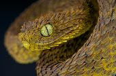 foto of tree snake  - The Leaf viper is a rarely encountered tree snake species found in Cameroon - JPG
