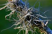 foto of leggy  - A spiny leggy air plant is growing on a tree branch in southern florida.