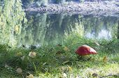 picture of toadstools  - red toxic toadstool standing on a riverbank