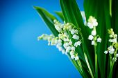 stock photo of day-lilies  - beautiful forest lilies of the valley on a blue background - JPG
