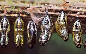 picture of cocoon  - Rows of butterfly cocoons - JPG