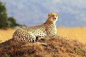 stock photo of cheetah  - A cheetah (Acinonyx jubatus) safari in southwestern Kenya