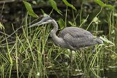 foto of bluegill  - A Great Blue Heron fishing for some food  - JPG