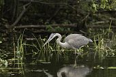 image of bluegill  - A Great Blue Heron fishing for some food - JPG