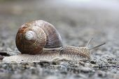 picture of garden snail  - large edible garden snail on the way - JPG