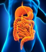 stock photo of internal organs  - Human Digestive System Illustration  - JPG