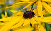 foto of black-eyed susans  - Bright yellow rudbeckia or Black Eyed Susan flowers in the garden in summer time - JPG