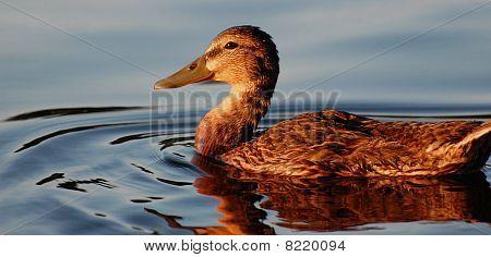 Duck Face At Sunset, Horizontal