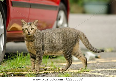 Unfriendly tabby cat looking at you on street.