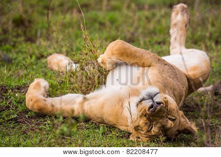 Napping Lion
