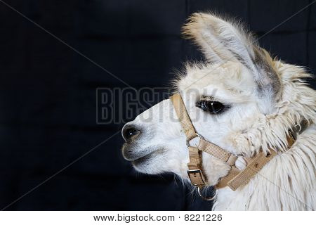 White Alpaca Head