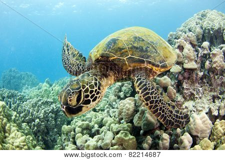 Hawaiian Green Sea Turtles