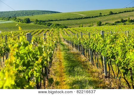 view of vineyards near Palava, Czech Republic