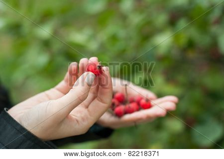 Red berries hawthorn on a palm, outdoors