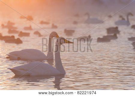 Swans Lake Fog Winter Sunset