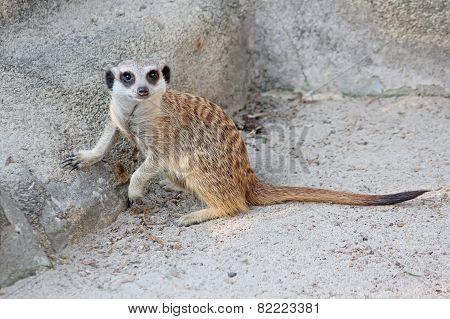 Curious meerkat looking at the camera