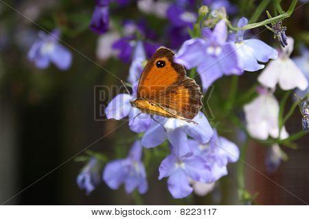 Gatekeeper Butterfly Resting