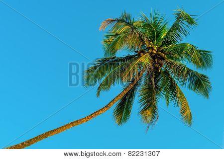 Horizontal Shot - Green Coconut Palms And Blue Sky