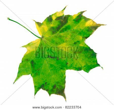 Green Yellowed Maple Leaf