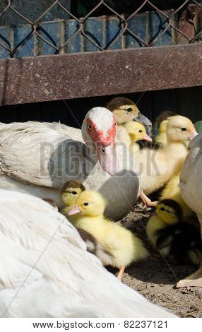 Little yellow ducklings with their Muscovy duck