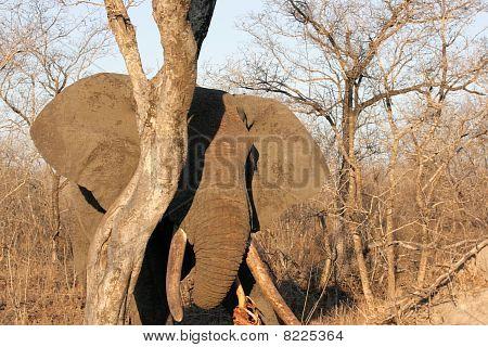 Elephant Bull Feeding On A Tree