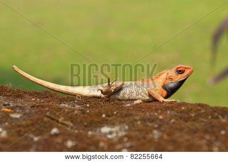 Orange-headed Agama