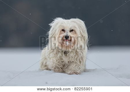 Little Havanese