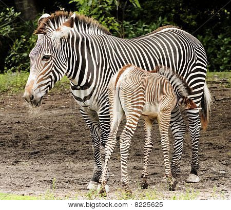 Zebra Calf Feeding
