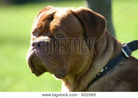 Related Pictures french mastiff english mix 667 x 652 92 kb jpeg ...