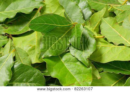 fresh bay leaves background