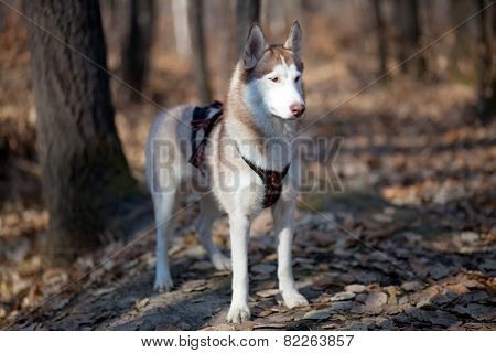 Siberian Husky In Autumn Forest