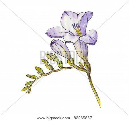 Watercolor Of Freesia Flower.