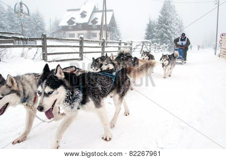 Dog Sled Race With Huskies
