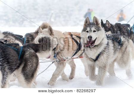 Dog Sled Racing With Huskies