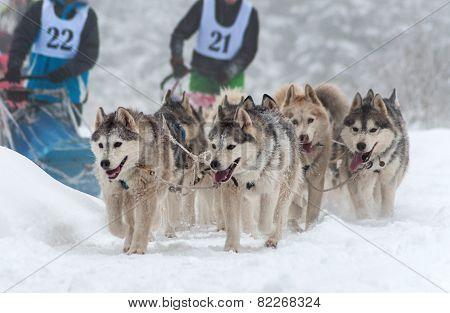 Husky Sled Race