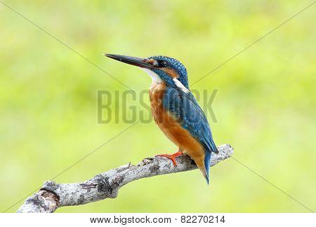Common Kingfisher Alcedo Atthis