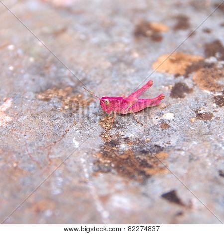Grasshopper On Stone