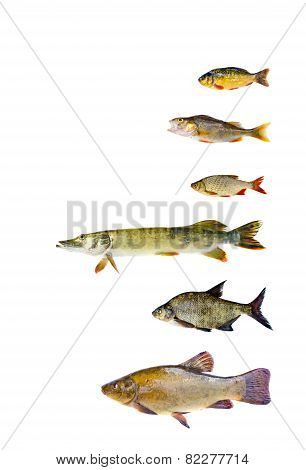 Various Freshwater Fish  Collection Isolated On White