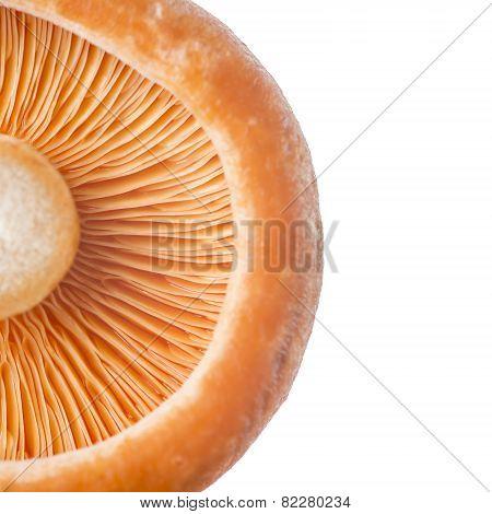 Closeup From A Saffron Milk Cap