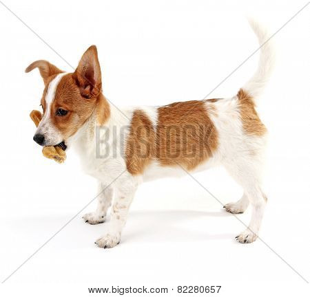 Cute dog with  with rawhide bone isolated on white background